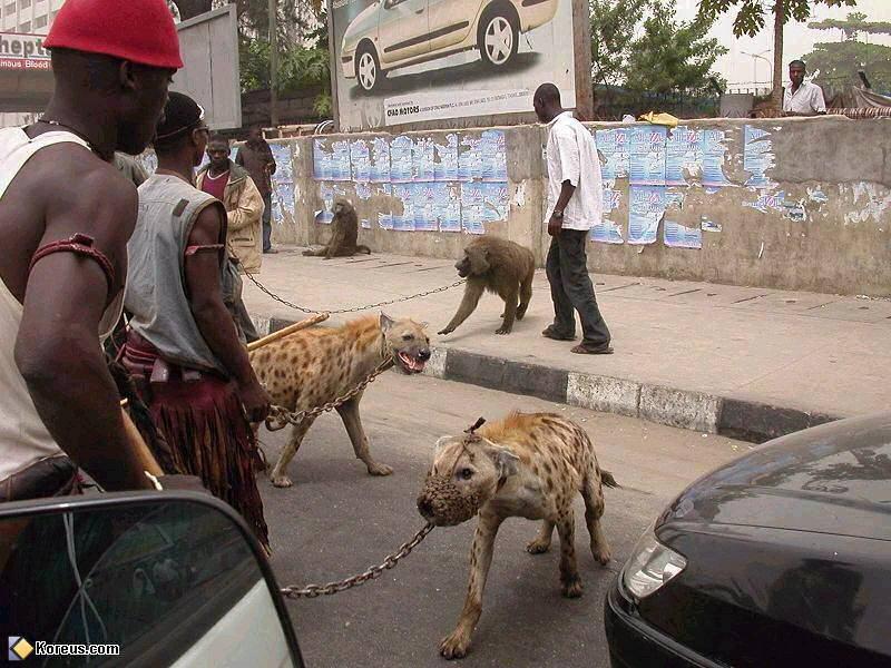 pitbullafricain.jpg